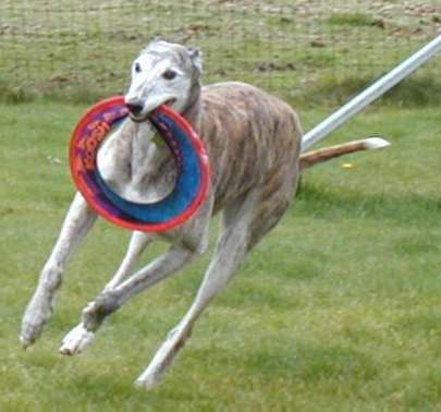 this greyhound loves to chase his frisbees